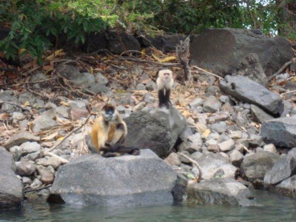 Capuchin monkeys on Monkey Island