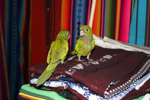 Baby parrots at the souvenir shop in Flores!