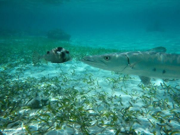 Barcuddavsfish