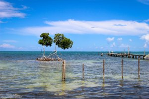 Mangroves of the shores of Caye Caulker